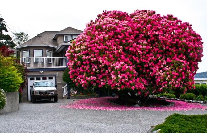 1-Rhododendron-agaci