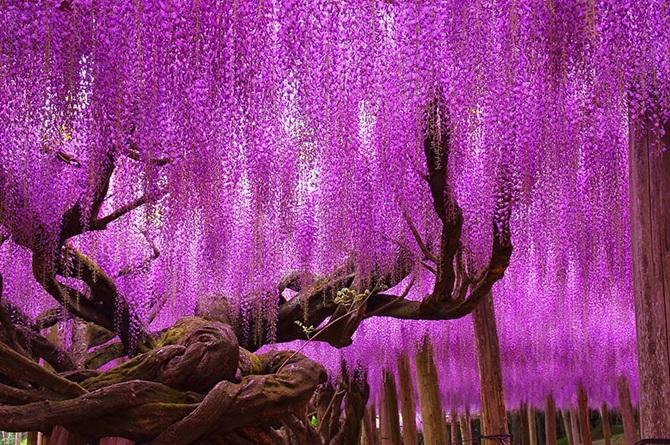 2-wisteria