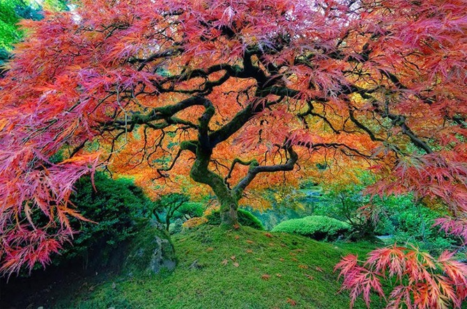 4-japanese-maple