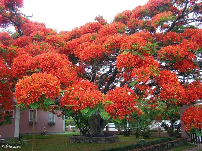 8-flamboyant-agaci