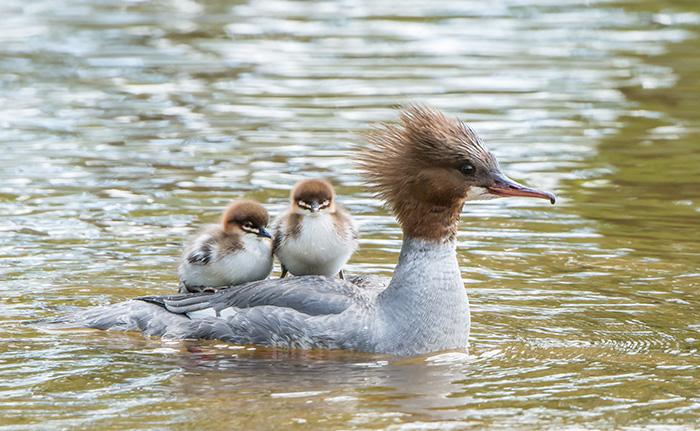 cute-bird-parents-371__700