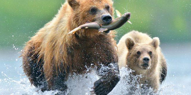 kamçatka_ayı_bear_somon