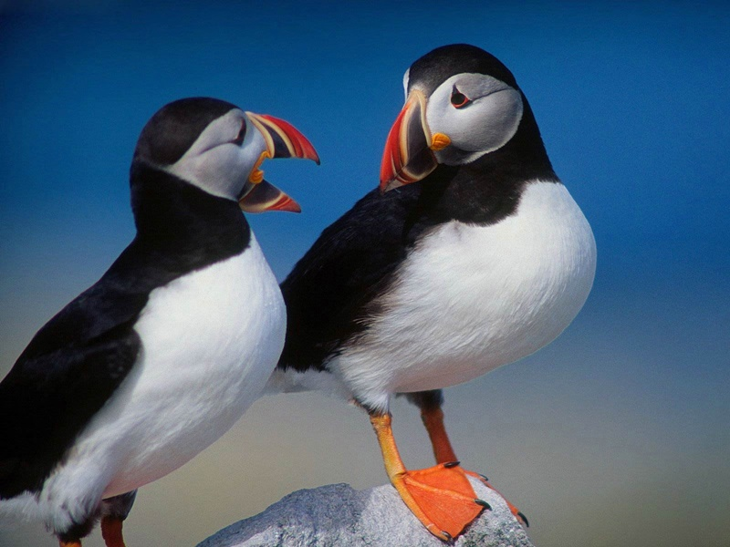 puffin-wallpaper-1