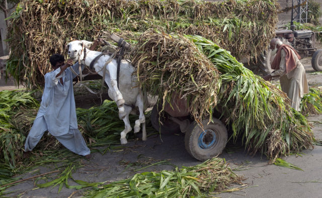 A man tries to control a heavily loaded cart of corn plants, used as animal feed, after it lifted his donkey in Lahore July 11, 2011. REUTERS/Mohsin Raza (PAKISTAN - Tags: SOCIETY ANIMALS ODDLY AGRICULTURE) - RTR2OQRM