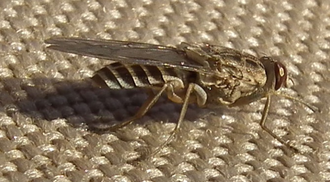 tsetse-flies