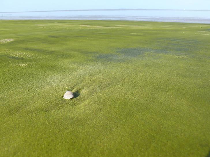 yeşil sahil gourou fransız guyanası